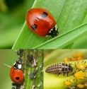 BORUŽĖ – BIOFRIENDS naudingi vabzdžiai, 100 vnt