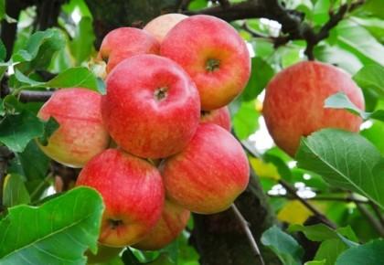 Obelų priežiūra