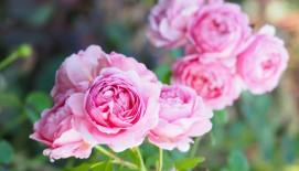 Rožių priežiūra