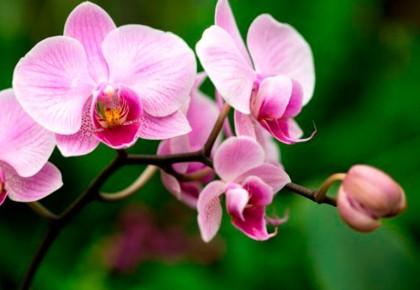 Orchidėjų priežiūra