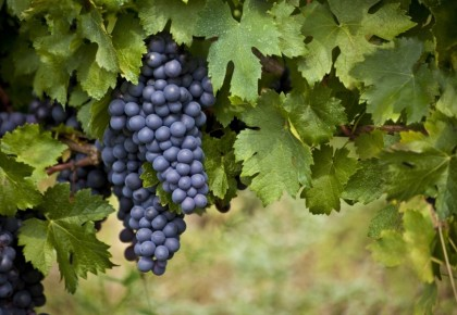 Vynuogių priežiūra