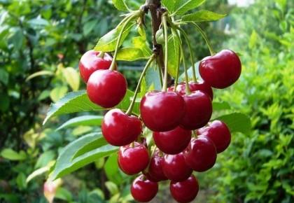 Vyšnių priežiūra