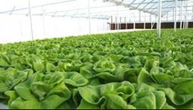 Hidroponinis auginimas