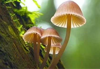 Mikoriziniai grybai