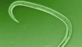 Entomopatogeniniai nematodai