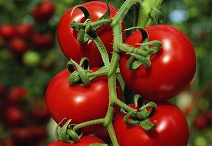 Pomidorų priežiūra